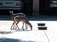 Mapping Urban White-tailed Deer
